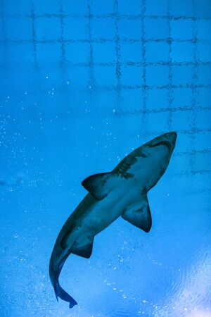 Shark against blue water in Aquarium  photo
