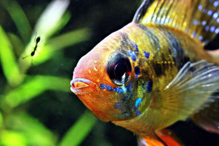 Ram cichlid Stock Photo - 9173460