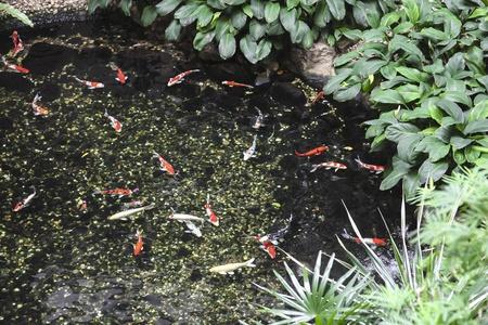 koy: Fish pond Stock Photo