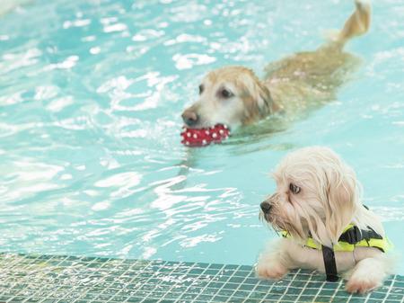 Cute white mini poodle swimming photo