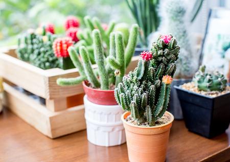 Kaktus Standard-Bild - 42719034
