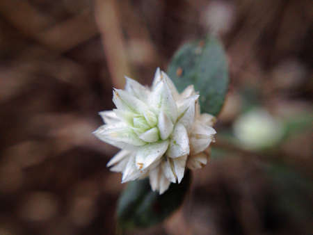 closeup: Grass Flower, Stock Photo