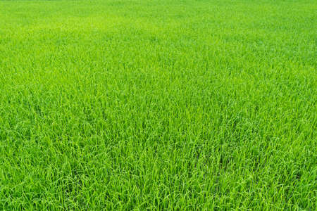 filed: green paddy rice field background