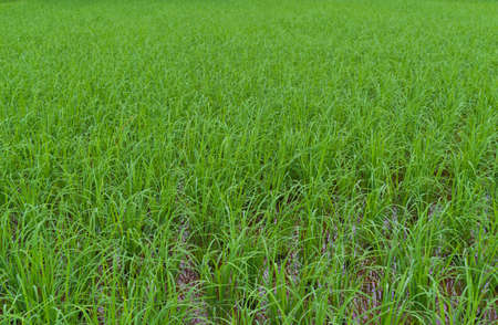 green paddy rice field background