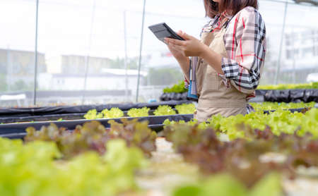 Woman farmer use Calculator checking stock and price hydroponics vegetables in market greenhouse, Organic farmer working technology payment and shopping, Farmers small business healthy food nutrition