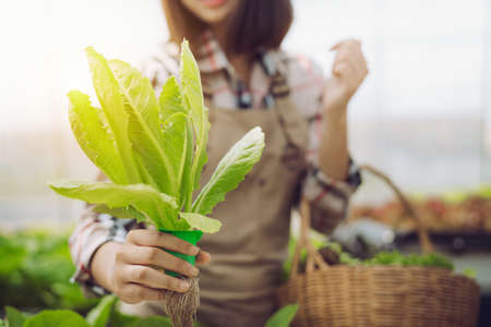 Hand of woman farmer collect hydroponic, organic vegetables in greenhouse owner small business entrepreneur, Healthy food nutrition product for health lovers, Happy people lifestyle farming at morning 스톡 콘텐츠