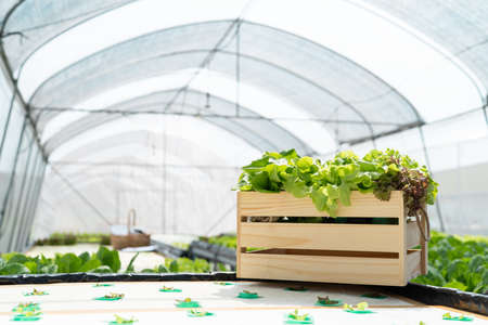 Collect hydroponic, organic vegetables on wooden in greenhouse owner small business entrepreneur, Healthy food nutrition product for health lovers, Happy people lifestyle farming at morning