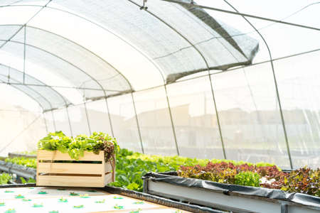Hydroponics, organic vegetables on wooden in greenhouse owner small business entrepreneur, Healthy food nutrition product for health lovers, Happy people lifestyle farming at morning