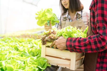 Farmer couple collect hydroponic, organic vegetables in greenhouse owner small business entrepreneur, Healthy food nutrition product for health lovers, Happy people lifestyle farming