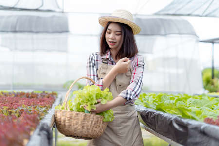 Beautiful young woman farmer collect hydroponic, organic vegetables in greenhouse owner small business entrepreneur, Healthy food nutrition product for health lovers, Happy people lifestyle farming