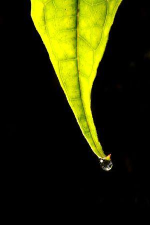 Baum Blätter auf schwarzen Hintergrund mit Wasser Tropfen Standard-Bild - 6666675