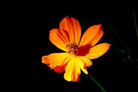 Gelbe Blumen auf dem schwarzen Hintergrund Standard-Bild - 6716129
