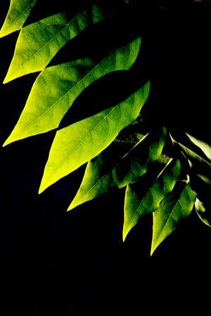Baum Blätter auf schwarzem Hintergrund  Standard-Bild - 6716031