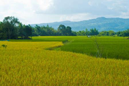 paddy rice in phurua , loei , thailand photo
