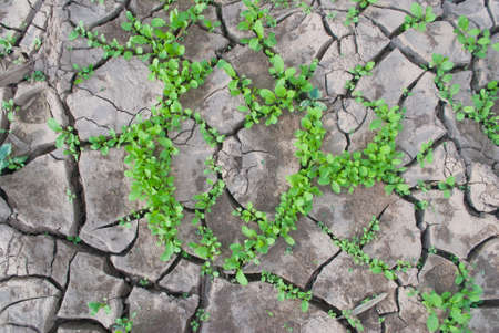 Heart shape plants in dried cracked mud Stock Photo - 11146900