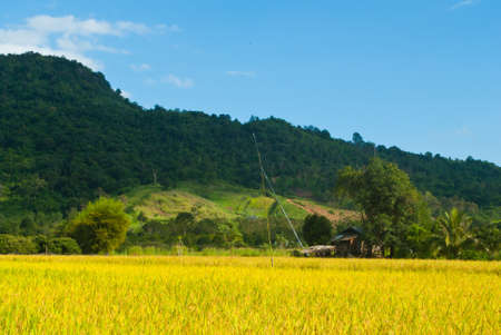 Paddy rice field in phurua , loei photo