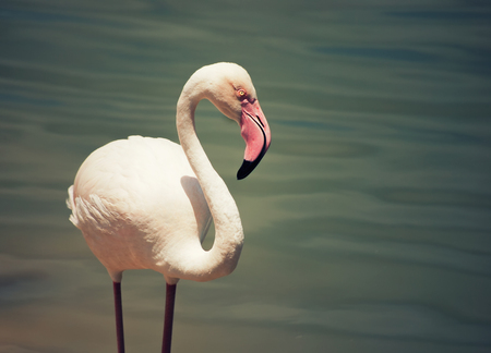 Profile of pink flamingo standing in water at a Florida zoo
