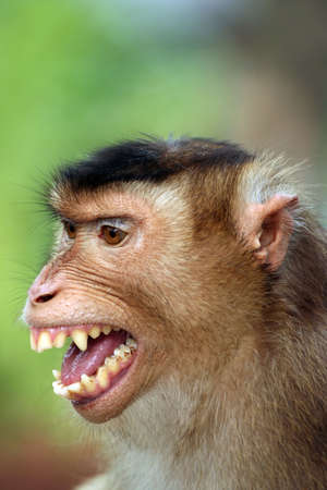 sneer: Smiling Monkey Stock Photo
