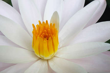 close up water lily white Stock Photo