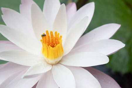 Pollen water lily and bee photo
