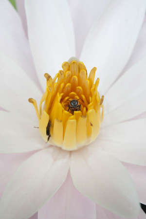 bee in pollen water lily photo