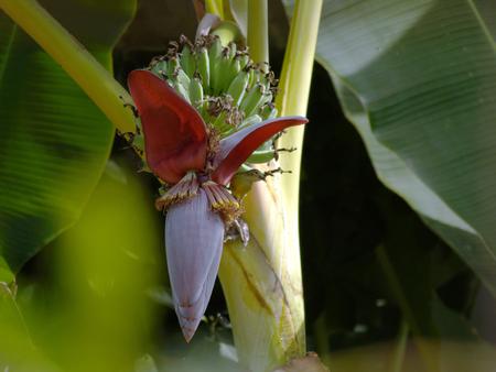sunbird: banana flower and Olive-backed sunbird Stock Photo