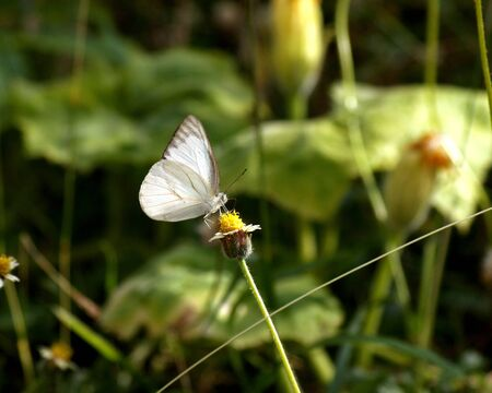 butterfly stationary: White Butterfly and Spanish needle flowers