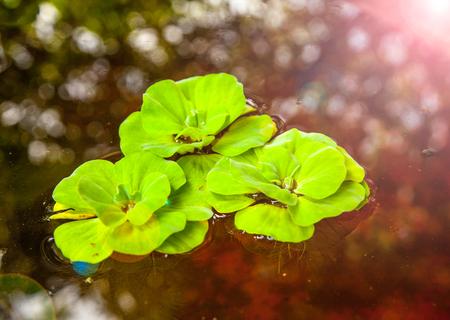 salvinia: Water lettuce Pistia stratiotes, aquatic plant.
