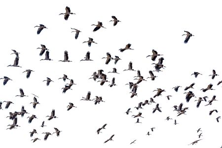 A group of sandhill cranes flying white background