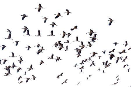 Eine Gruppe von Sandhügelkranichen, die weißen Hintergrund fliegen
