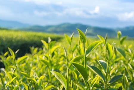 Groene thee tuin