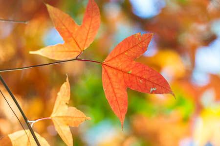 color in: las hojas de arce cambio de color en oto�o