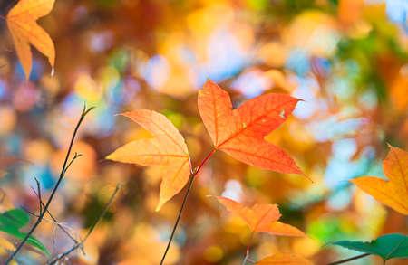 color in: las hojas de arce cambio de color en otoño