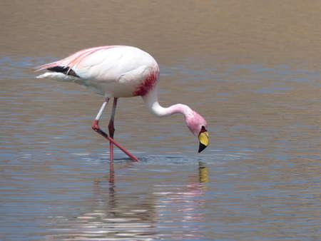 Flamingo runs through the water Stock Photo
