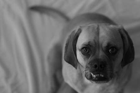 Puggle in black & white, with shallow depth of field focused on the eye.