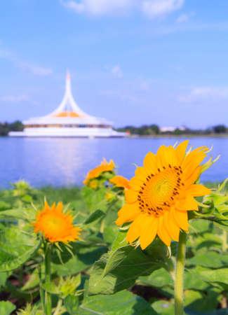 ix: Sunflower in a field Suanluang RAMA IX, Bangkok, Thailand Stock Photo