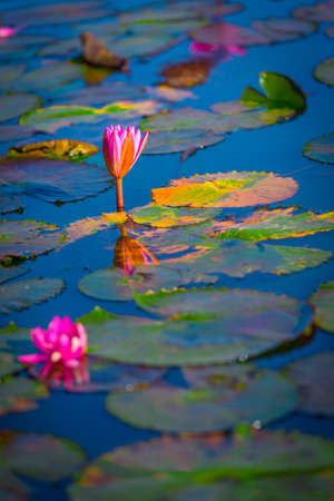 Pink lotus blossoming in the water