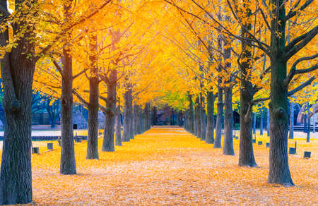 Ginkgo line trees ,Yellow line in Nami island 免版税图像