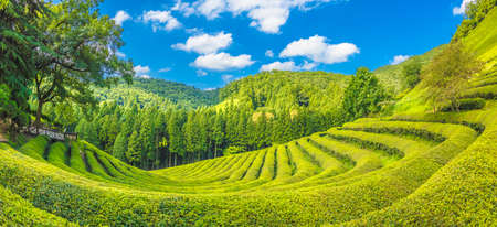 Daehandawon Green tea plantation in South Korea