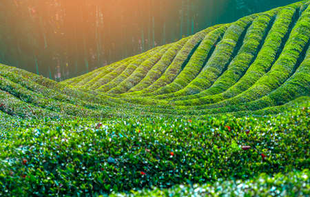 Daehandawon Green tea plantation in Boseong,South Korea