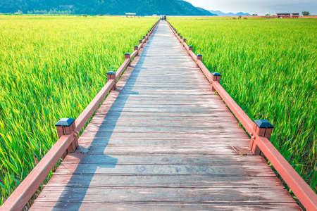 Wooden walkway on rice field at Suncheon bay,South Korea