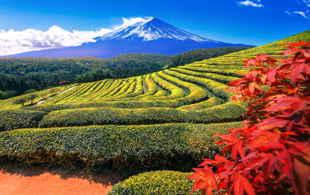 Fresh green tea field  with Mt Fuji in the background