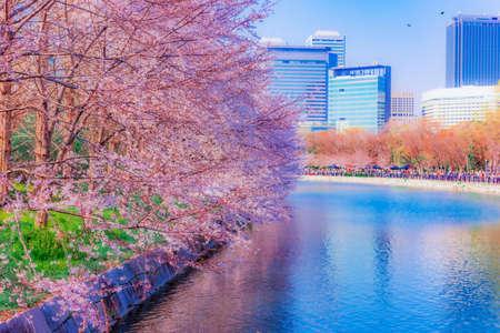 Cherry blossoms bloom a lot at Osaka,Japan