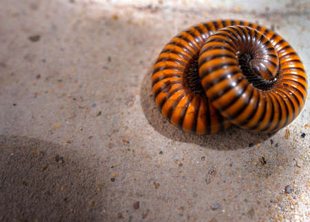 Millipedes (Graphidostreptus) rolled or coiling body to protect itself on the floor with afternoon sunlight shading Stok Fotoğraf