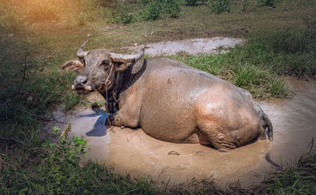 Swamp Buffalo soaked happily in mud water on summer at the  rural village in Thailand. Stok Fotoğraf