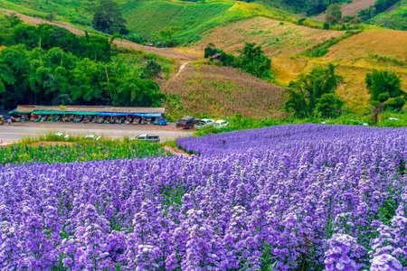 Margaret flowers fields in khao kho, Phetchabun province,Thailand Stok Fotoğraf