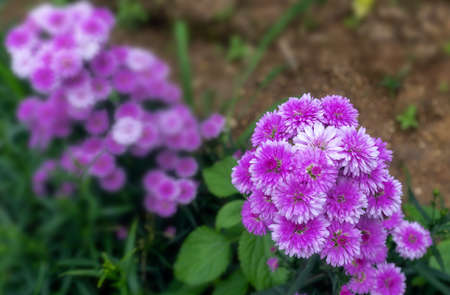 Beautiful and fresh Margaret flowers in field.Close-up purple pink and manure Margaret flowers in natural light