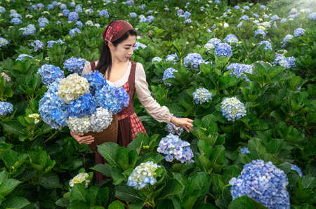 Asian woman Carry a basket to collect hydrangeas in the garden at Chiangmai, Thailand