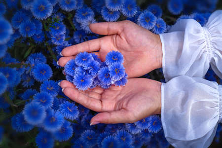 Closeup image of a woman's hand touching on beautiful Margaret flower in the field at Chiangmai, Thailand