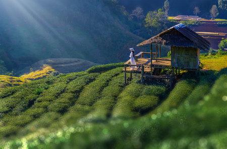 Asian woman wearing a Vietnamese dress in a tea plantation, Chiang Mai, Thailand Imagens